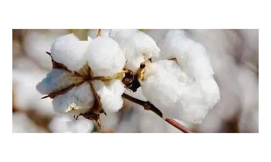 纺织原料市场全线普涨,郑棉逼近万六,纱线涨幅最高27.1%!节后纺织形势一片大好吗?